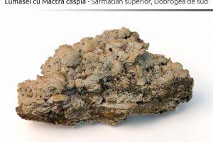 Lumasel cu Mactra caspia, Sarmatian superior, Dobrogea de sud