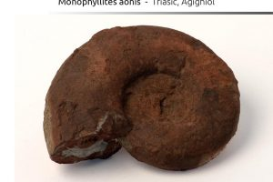 Monophyllites aonis, Triasic, Agighiol